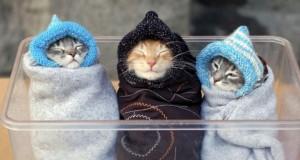Hijaab cat