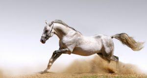 white_horse_running